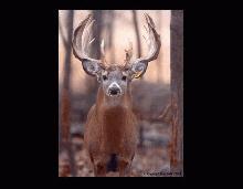 Buck Photo