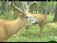 Bucks In Velvet, , , deer hunt wisconsin, deer hunting wisconsin apple creek buck ranch, deer hunting outfitters